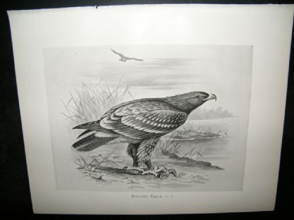Frohawk 1898 Antique Bird Print. Spotted Eagle | Albion Prints